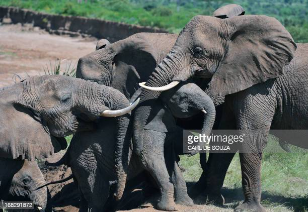 Elephants help an elephant calf up a slope after fording the Ewaso Nyiro river in Samburu game reserve on May 8 2013 UNEP goodwill ambassador and...