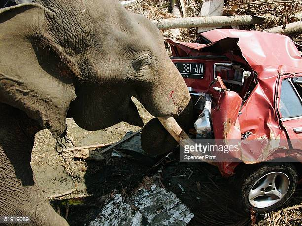 Elephants help to clear debris from an area destroyed by the tsunami January 6 2005 in Banda Aceh Indonesia The province of Aceh one of the worst hit...