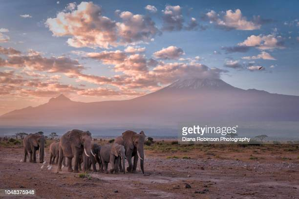 elephants in a line at sunrise in front of mt. kilimanjaro, amboseli national park, kenya, east africa - kenia fotografías e imágenes de stock