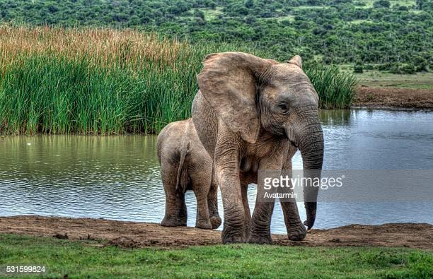 elephants in africa - krueger national park