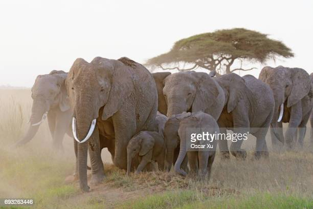 Elephants in Amboseli National