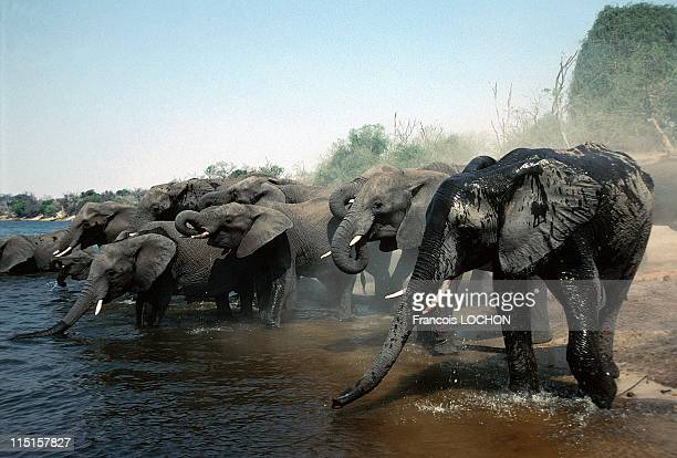 Elephants in Botswana in October 1998 Hwange park