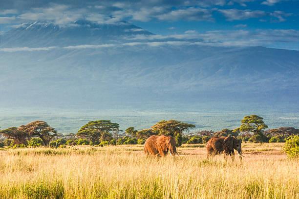 Elephants In Front Of Mount Kilimanjaro Wall Art