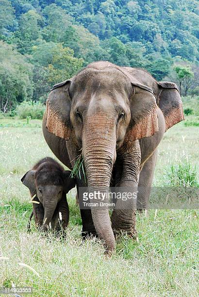 elephants in nature park - chiang mai province stock photos and pictures