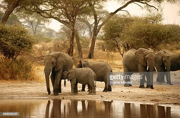 elephants in n.p. tarangire - vicente méndez fotografías e imágenes de stock