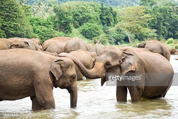 elephants in river - sri lanka stock pictures, royalty-free photos & images