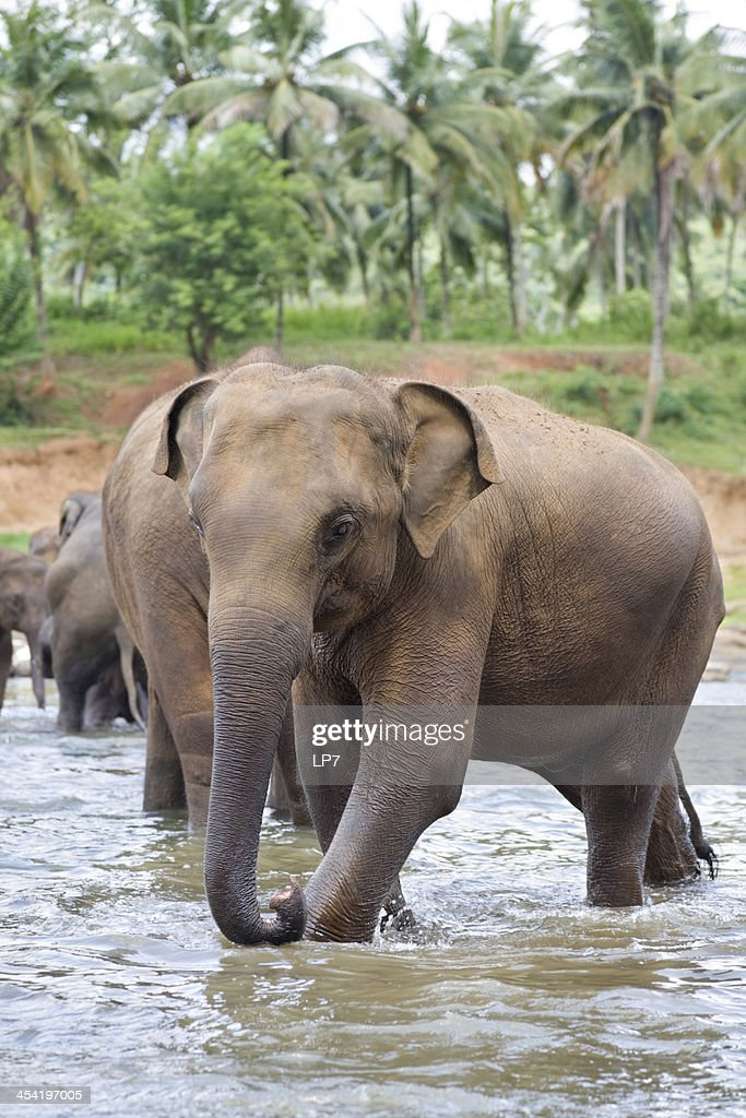 Elephants in river : Stock Photo