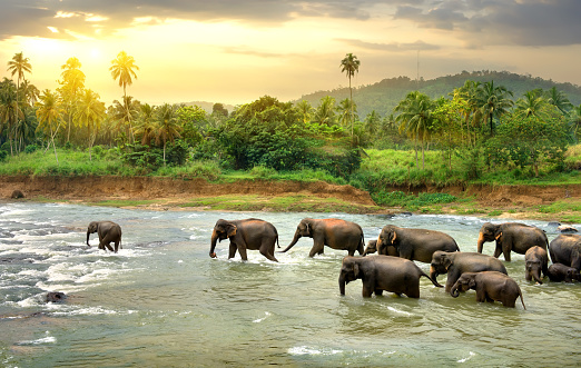 Elephants in river 505221662