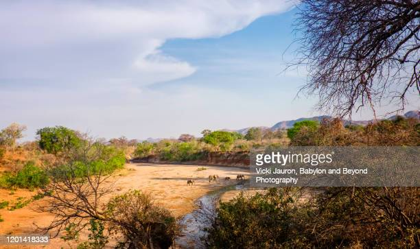 elephants in the riverbed at chitake springs, mana pools, zimbabwe - zimbabwe stock pictures, royalty-free photos & images