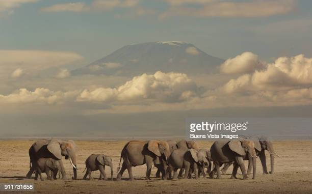elephants in the savannah. - animal family stock pictures, royalty-free photos & images