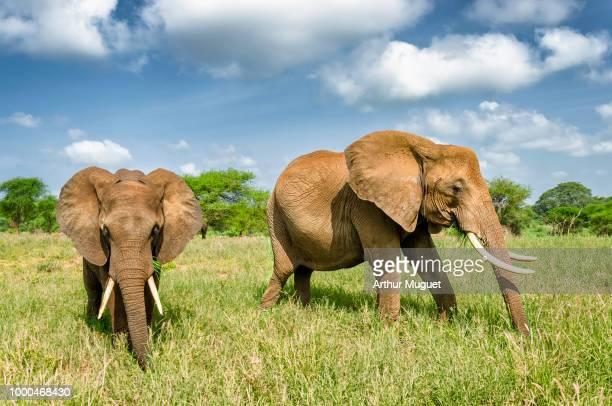 elephants in the serengeti plaines - muguet stockfoto's en -beelden