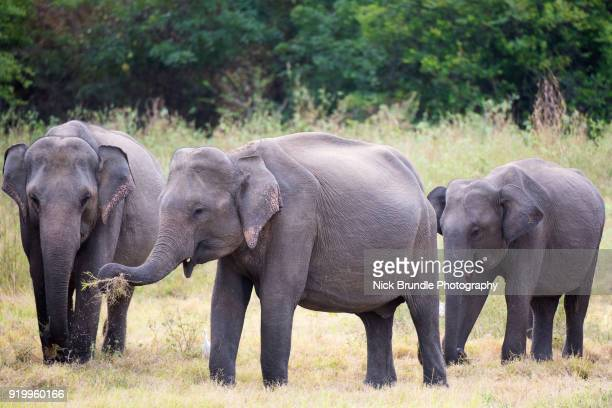 Elephants in Udawalawe National Park, Sri Lanka