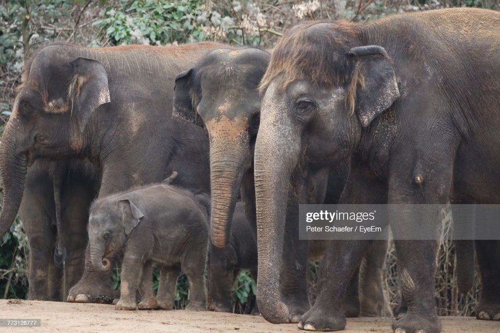 Elephants In Zoo : Photo