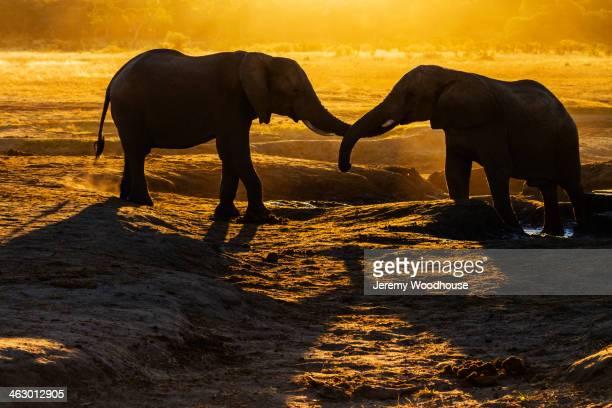 Elephants intertwining trunks in desert at sunset