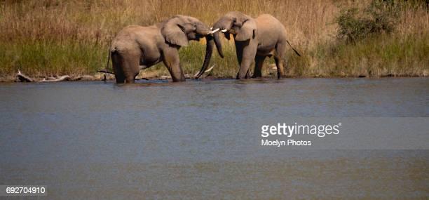 Elephants Jousting