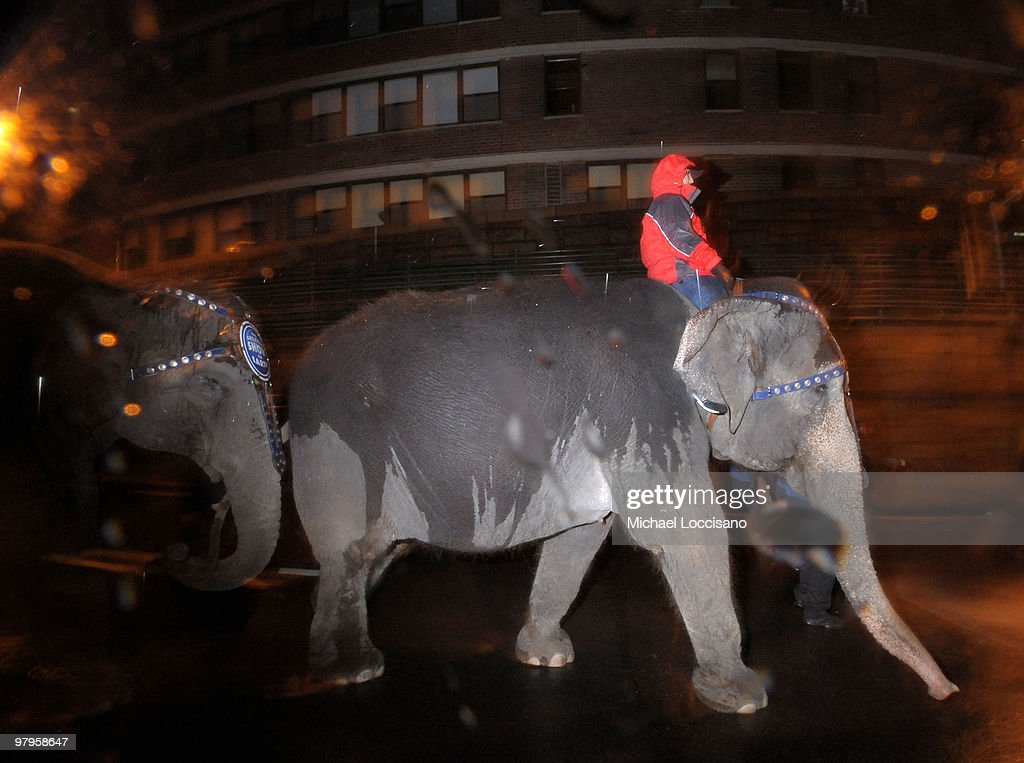 Elephants march into Manhattan for the Ringling Bros. and Barnum & Bailey's 'Barnum's Funundrum' on route from the Queens Midtown Tunnel to Madison Square Garden on March 22, 2010 in New York City.