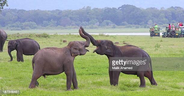 Elephants mating- courtship
