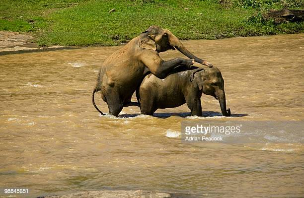 elephants mating in river, sri lanka - wild animals stock photos and pictures