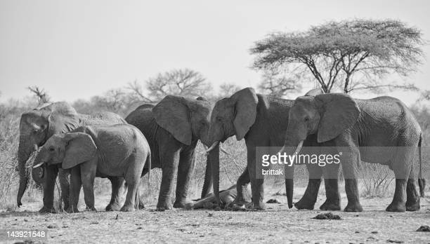 elephants mourning dead baby - mourning stock photos and pictures