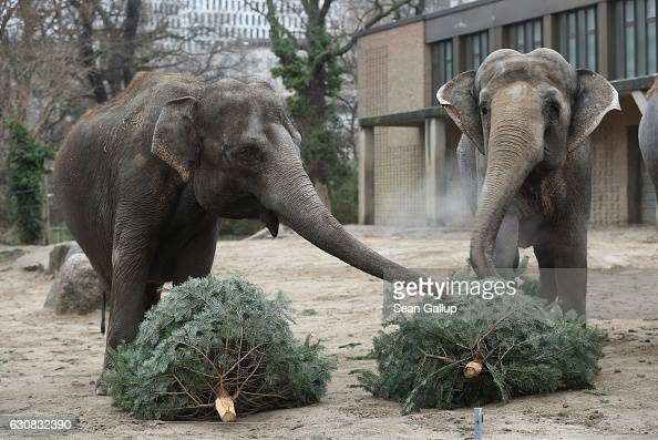 Elephants munch on discarded Christmas trees at the Zoo ...