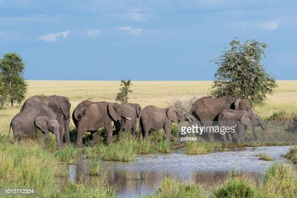 elephants near river, africa - safari animals stock pictures, royalty-free photos & images