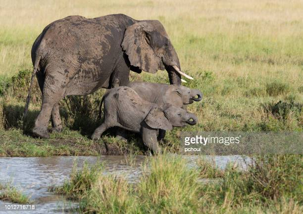 elephants near river, female with calfs drinking water, africa - safari animals stock pictures, royalty-free photos & images