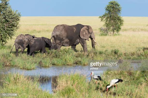 elephants near river, mother and children, africa - safari animals stock pictures, royalty-free photos & images