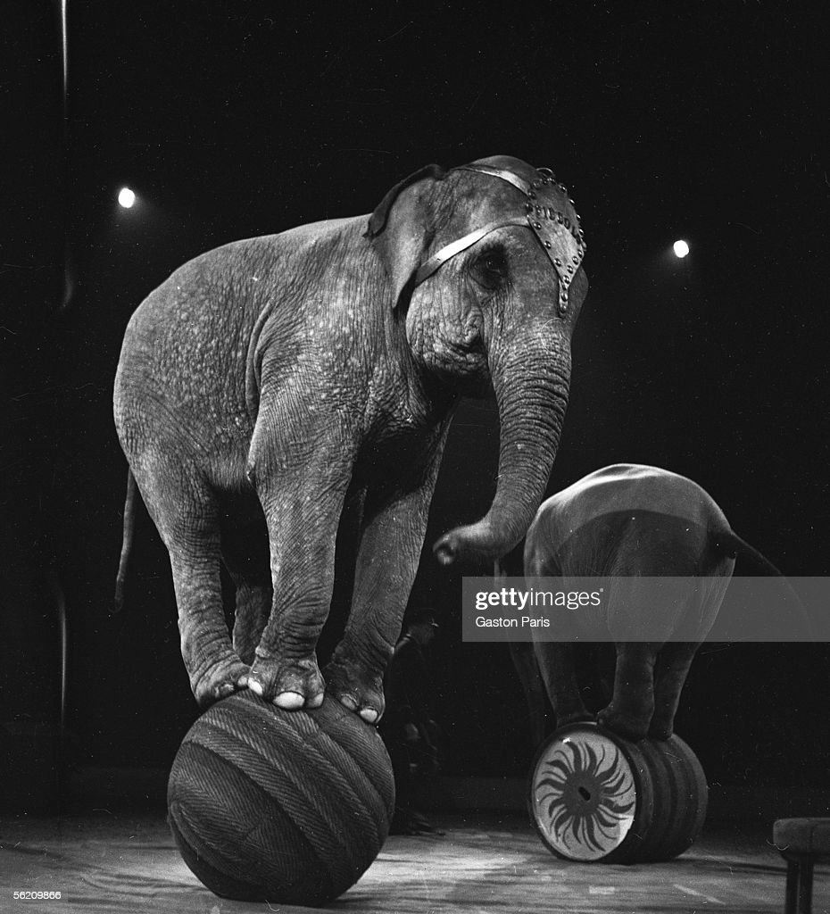 Elephants of circus. France, about 1935.