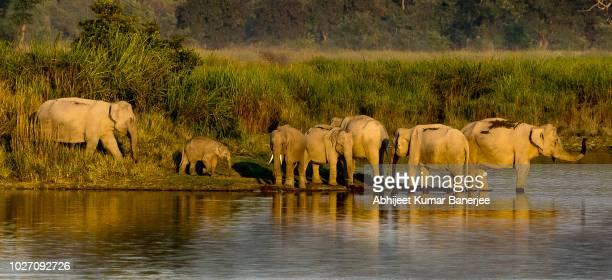 elephants of kaziranga - kaziranga national park stock pictures, royalty-free photos & images
