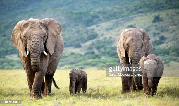 elephants on field - animal family stock pictures, royalty-free photos & images
