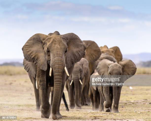 elephants on field - african elephant stock pictures, royalty-free photos & images