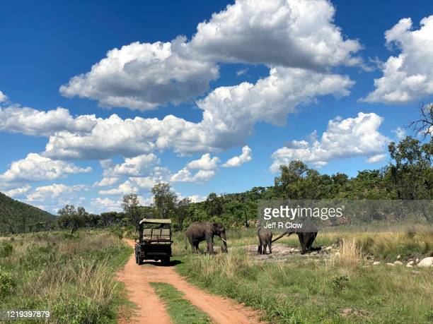 elephants on wildlife safari in africa - limpopo province stock pictures, royalty-free photos & images