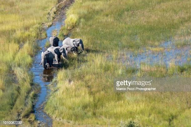 elephants - okavango delta stock photos and pictures