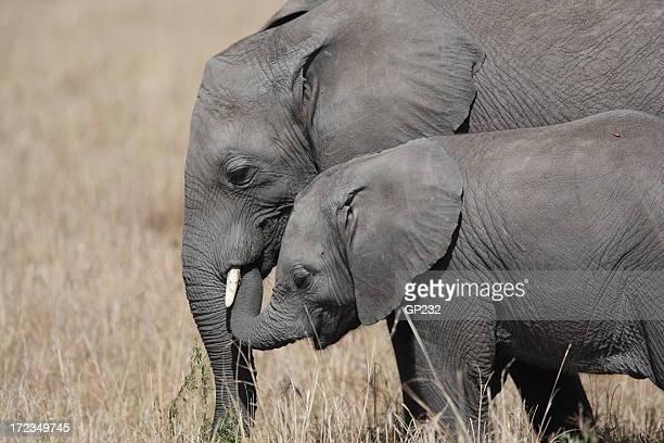 elephants - safari animals stock photos and pictures