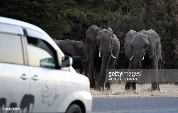 Elephants prepare to cross a road as cars drive by in Kasane in the Chobe district Northern Botswana on May 28 2019 Last month the government lifted...