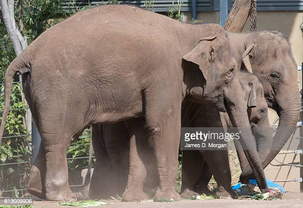 Elephants receiving special gifts at their morning feed during birthday celebrations at Taronga Zoo on October 7, 2016 in Sydney, Australia. Today...