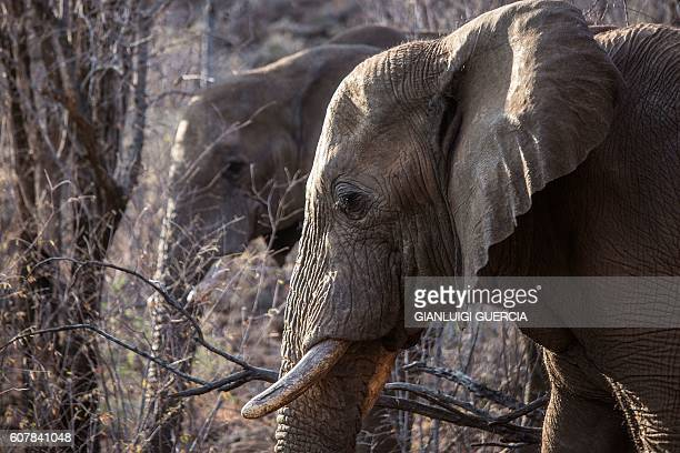 Elephants roam through trees and low bush on Septemebr 19 2016 at the Pilanesberg National Park in the North West province South Africa On September...