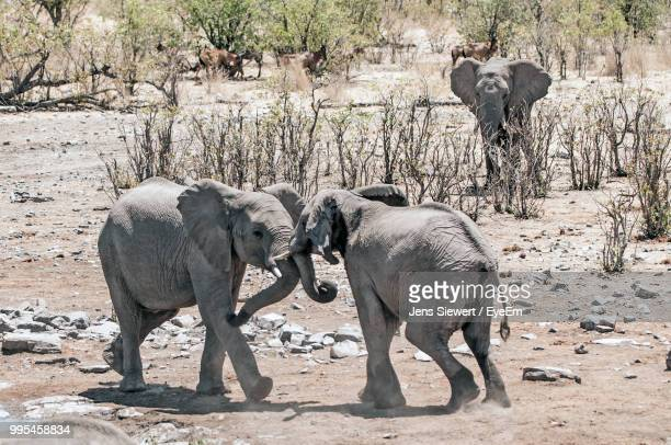 elephants rough housing on field during sunny day - jens siewert stock-fotos und bilder