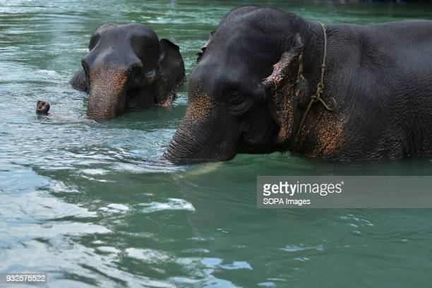 Elephants seen cooling themselves in the river At Elephant and Ecotourism Gunung Leuser National Park tourists can help bathing elephants on the...