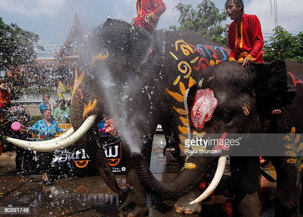 Elephants soak people as part of celebrations for the upcoming Thai New Year on April 10 2008 in Ayutthaya Thailand Thai's are getting ready to...