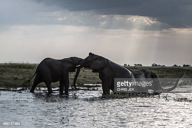Elephants splash at sunset in the waters of the Chobe river in Botswana Chobe National Park in the north eastern of the country on March 20 2015...