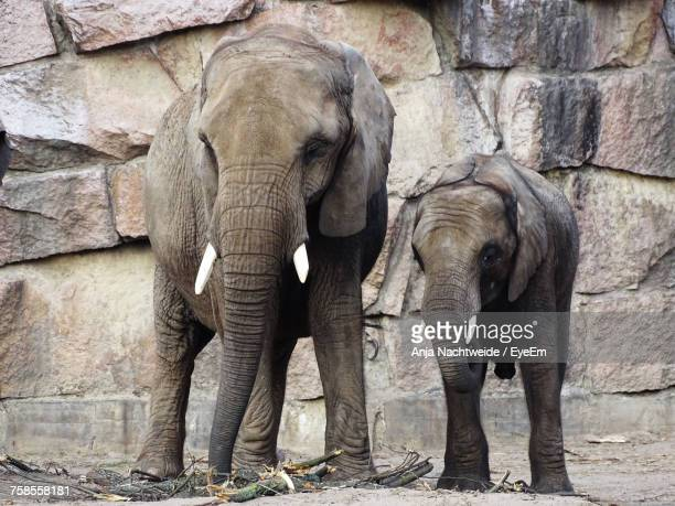 elephants standing against stone wall - berlin zoo stock pictures, royalty-free photos & images