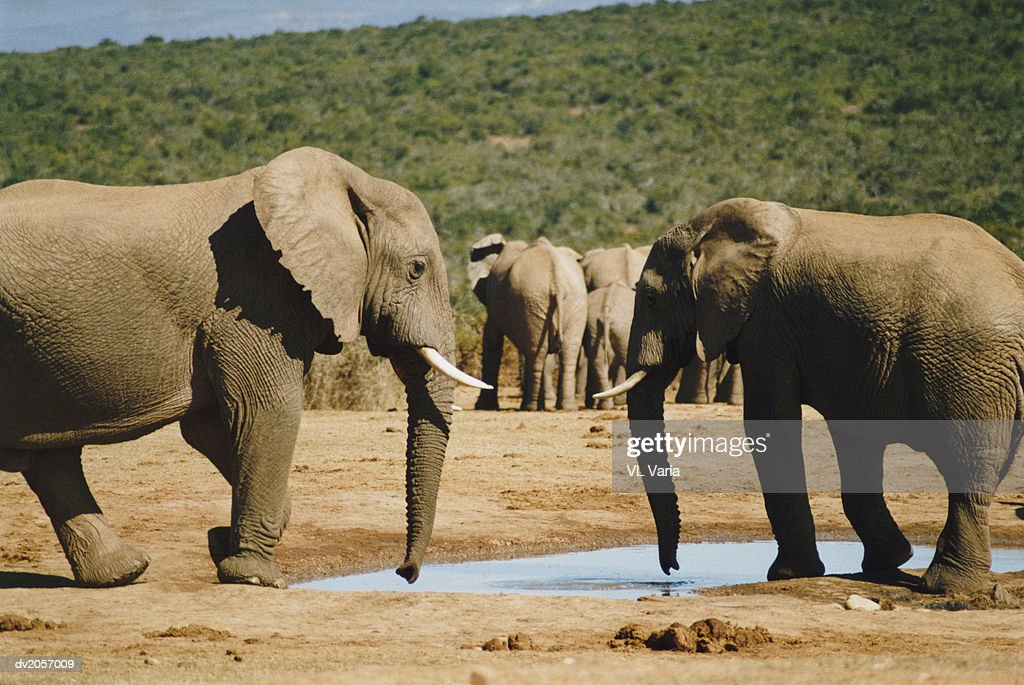 Elephants Standing by a Pond : Stock Photo