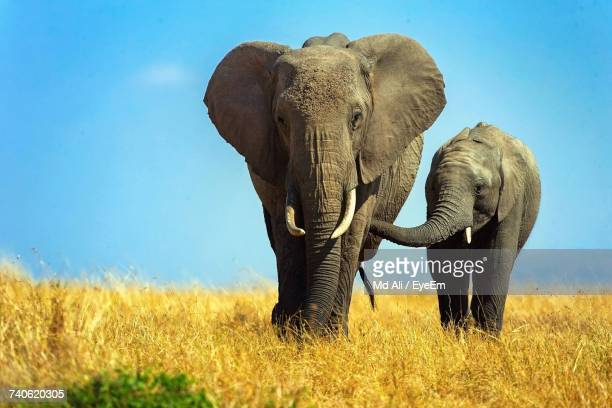 elephants standing on field against sky - baby elephant stock photos and pictures
