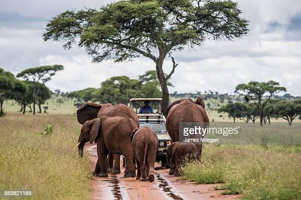 elephants surround a safari car - tarangire national park stock pictures, royalty-free photos & images