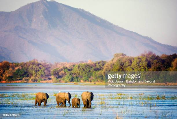 elephants traveling through the zambezi river in mana pools, zimbabwe - zimbabwe fotografías e imágenes de stock