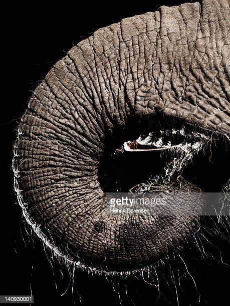 elephants trunk -