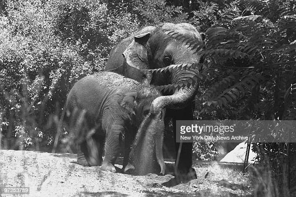Elephants try to cool off with dirt on a hot day at the Bronx Zoo