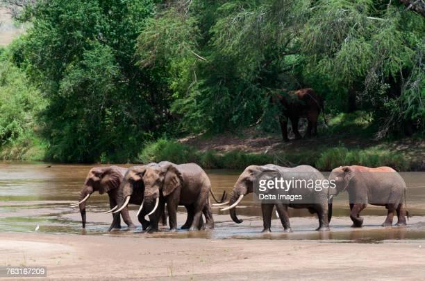 Elephants (Loxodonta africana), Tsavo East National Park, Kenya