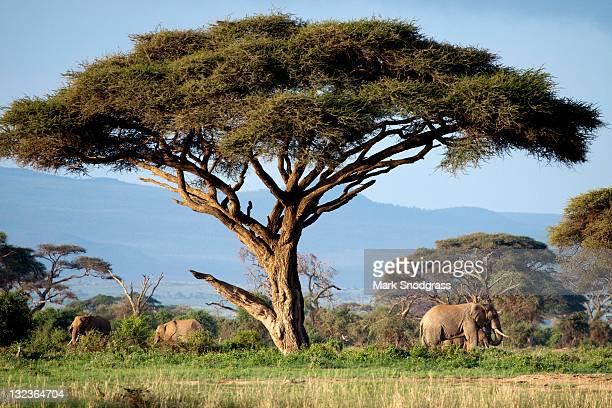 Elephants under acacia tree